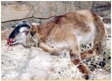 Anthrax Disease and its Management in Sheep and Goat|UAS Raichur